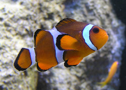 Marlin, Coral, and Nemo are Clownfish.